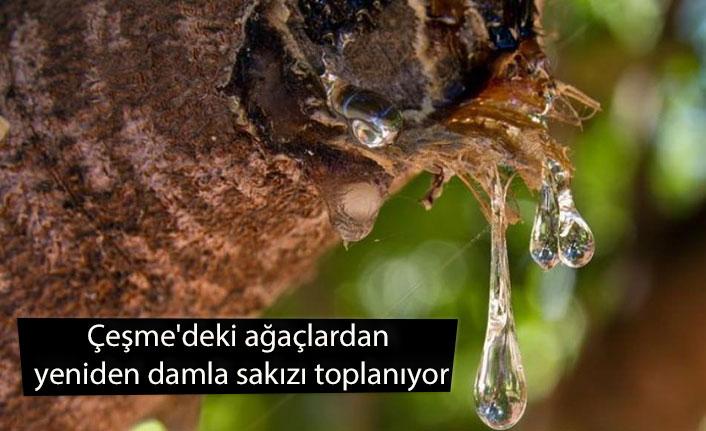 Çeşme'deki ağaçlardan yeniden damla sakızı toplanıyor
