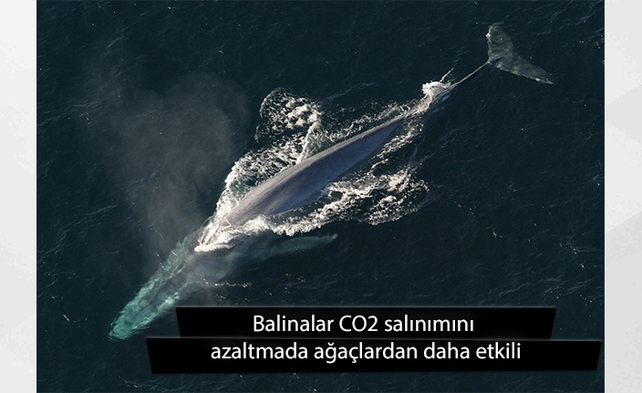 Rapor: Balinalar CO2 salınımını azaltmada ağaçlardan daha etkili