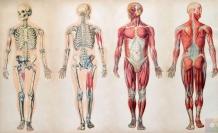 İnsan Vücudunda Bulunan 10 Körelmiş Organ ve Kas