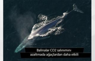 Rapor: Balinalar CO2 salınımını azaltmada ağaçlardan...