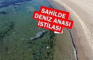Deniz anası istilası havadan görüntülendi