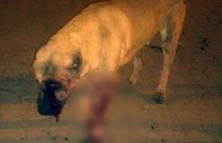 Mersin'de sokak köpeğinin gözlerini oydular